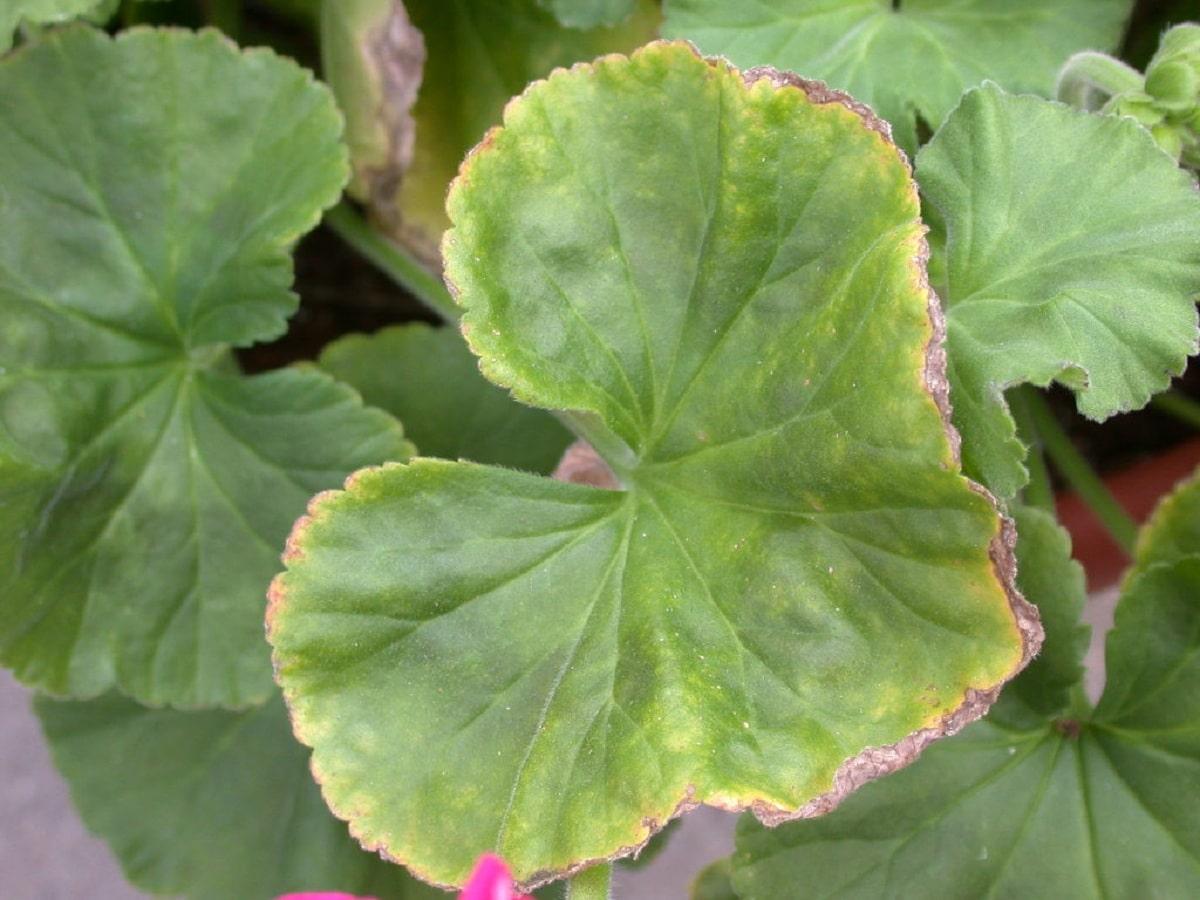 falta de hierro en hojas
