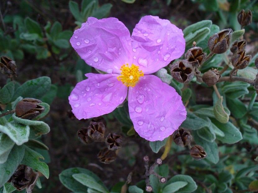 Cuidados Cistus monspeliensis purpura