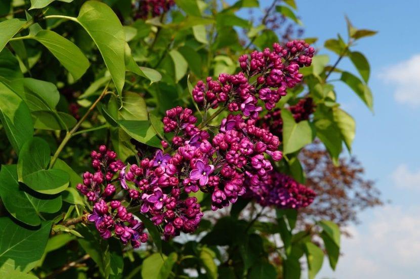 Vista de las flores de Syringa