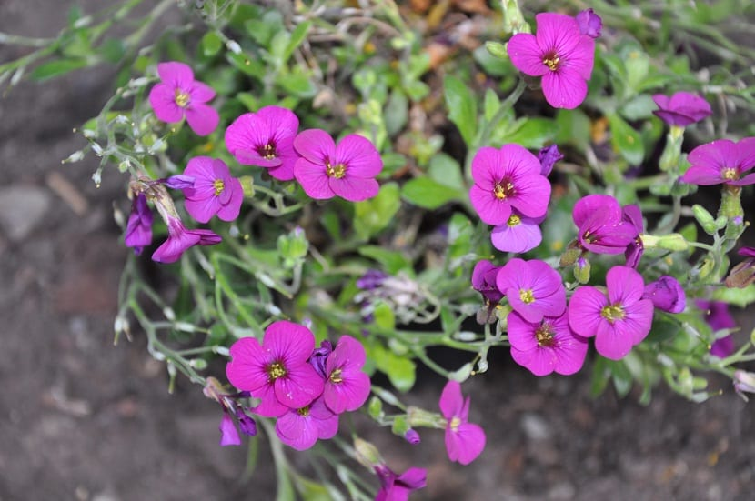 La Arabis blepharophylla al igual que la Arabis caucásica, también pertenece a la familia de las Brassicaceae