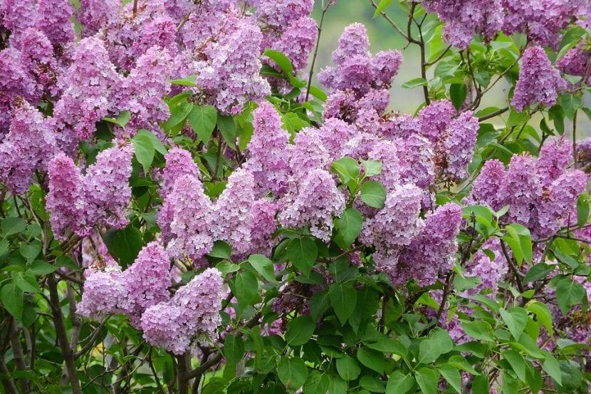 El árbol de Syringa vulgaris da flores lilas