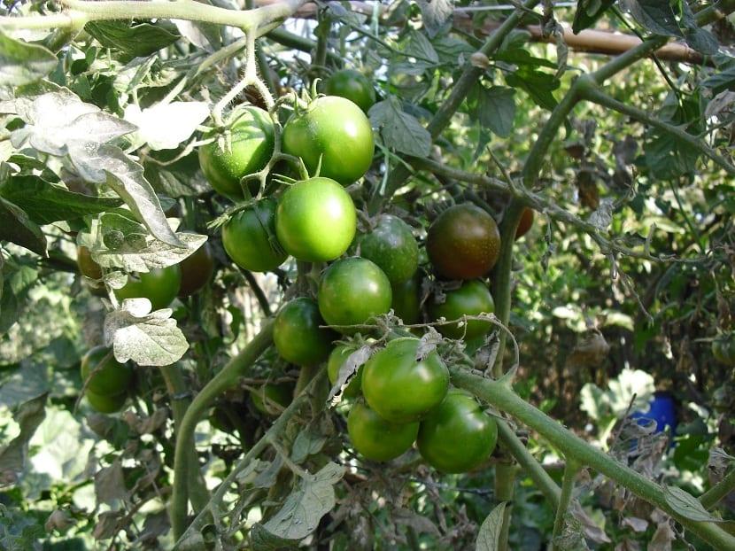 Cultivo del tomate Kumato