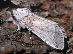 Mariposa del chopo