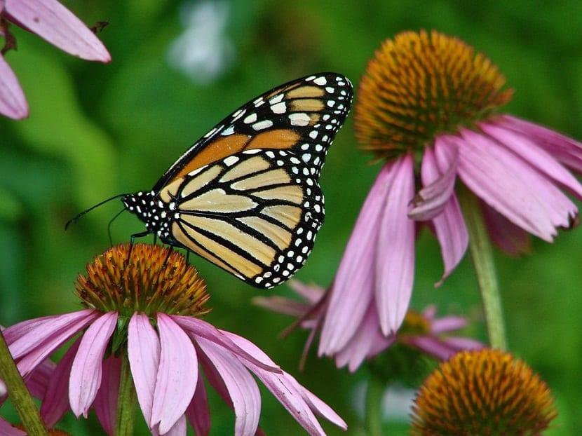 Caracteristicas de la Echinacea purpurea