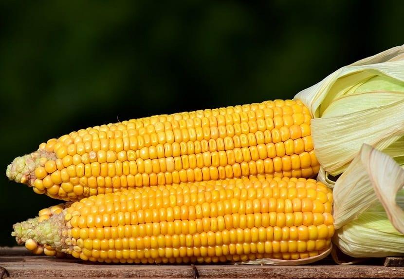 cuidado con las plagas que puedan atacar al maiz