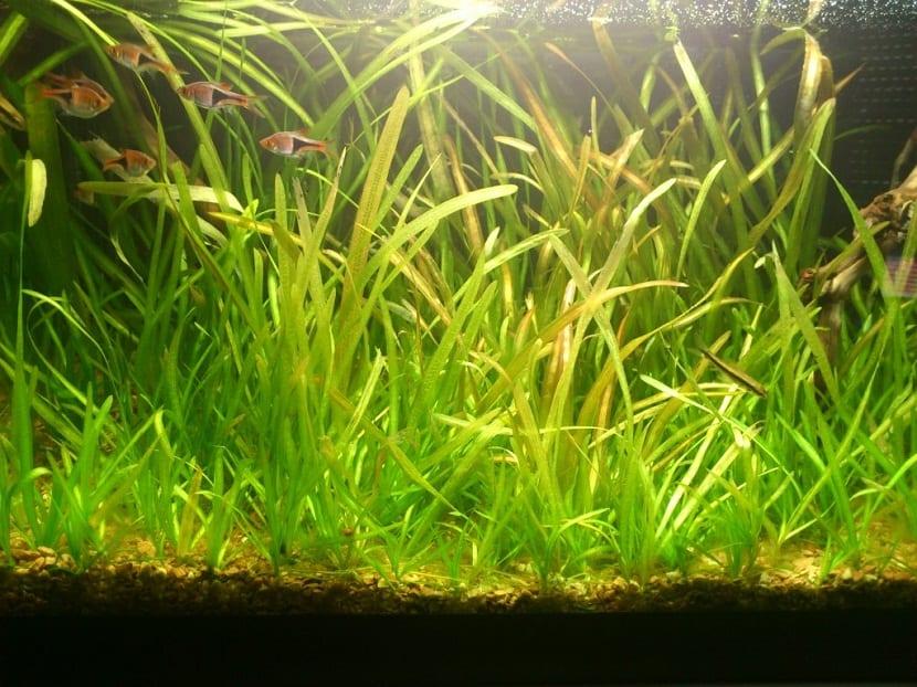 Para que esta planta tenga un excelente desarrollo, requiere de muchos cambios de agua de manera periódica