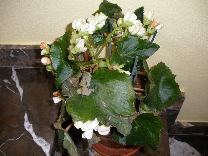 plagas y enfermedades de la begonia