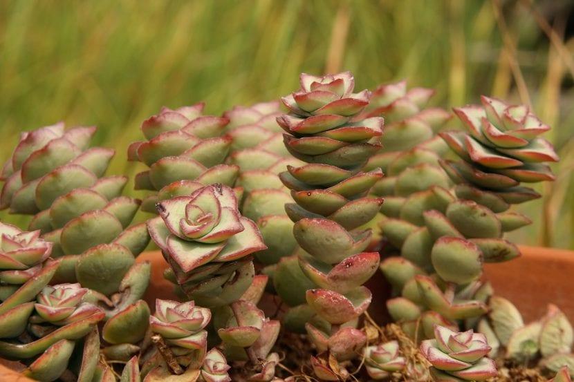 Planta de Crassula perforata
