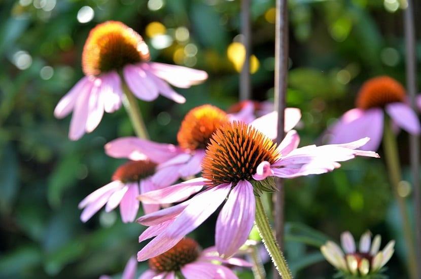 La echinacea o equinácea purpurea es una planta muy parecida a la margarita