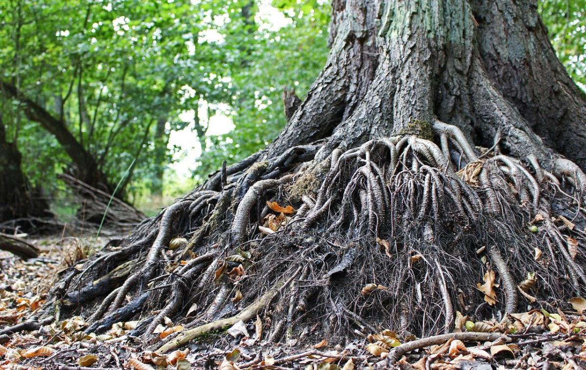 La raíz pivotante mantiene sujeto al árbol
