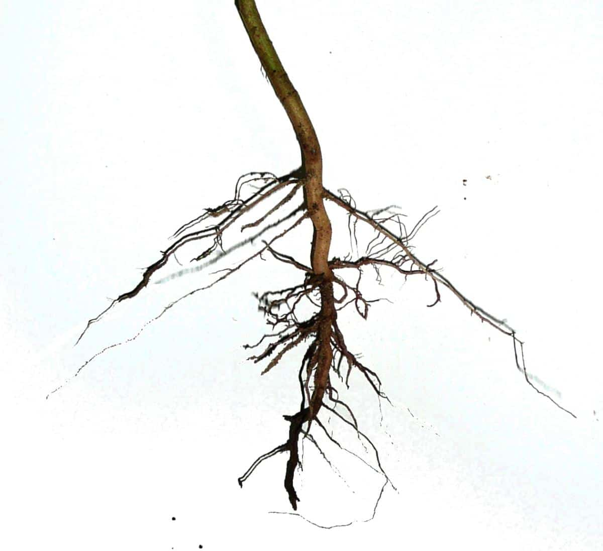 La raíz pivotante es gruesa y larga
