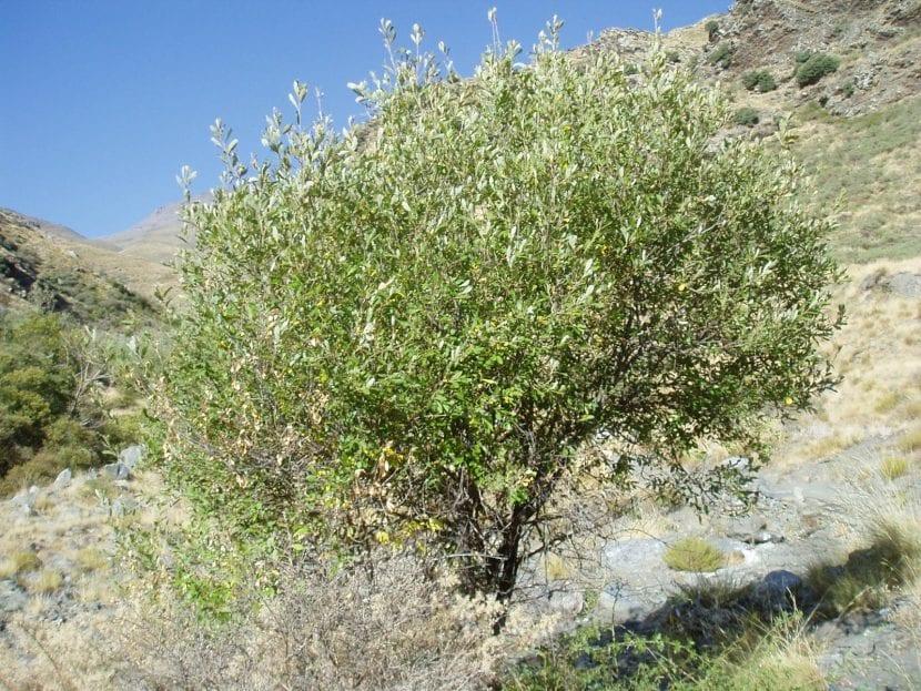 Vista de un árbol de la especie Salix atrocinerea