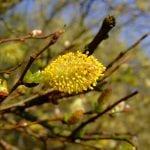 Vista de las flores masculinas del Salix atrocinerea