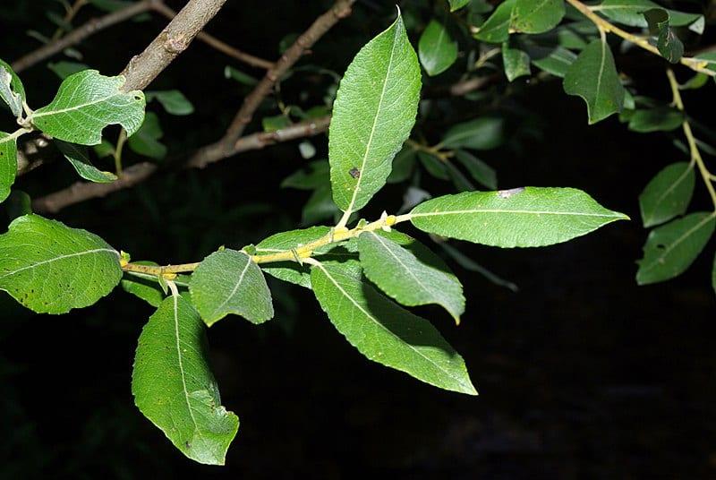 Las hojas del Salix atrocinerea son simples y largas