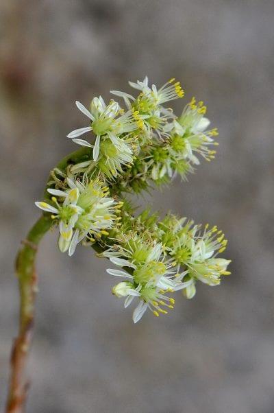 Las flores del Sedum sediforme son pequeñas y amarillas