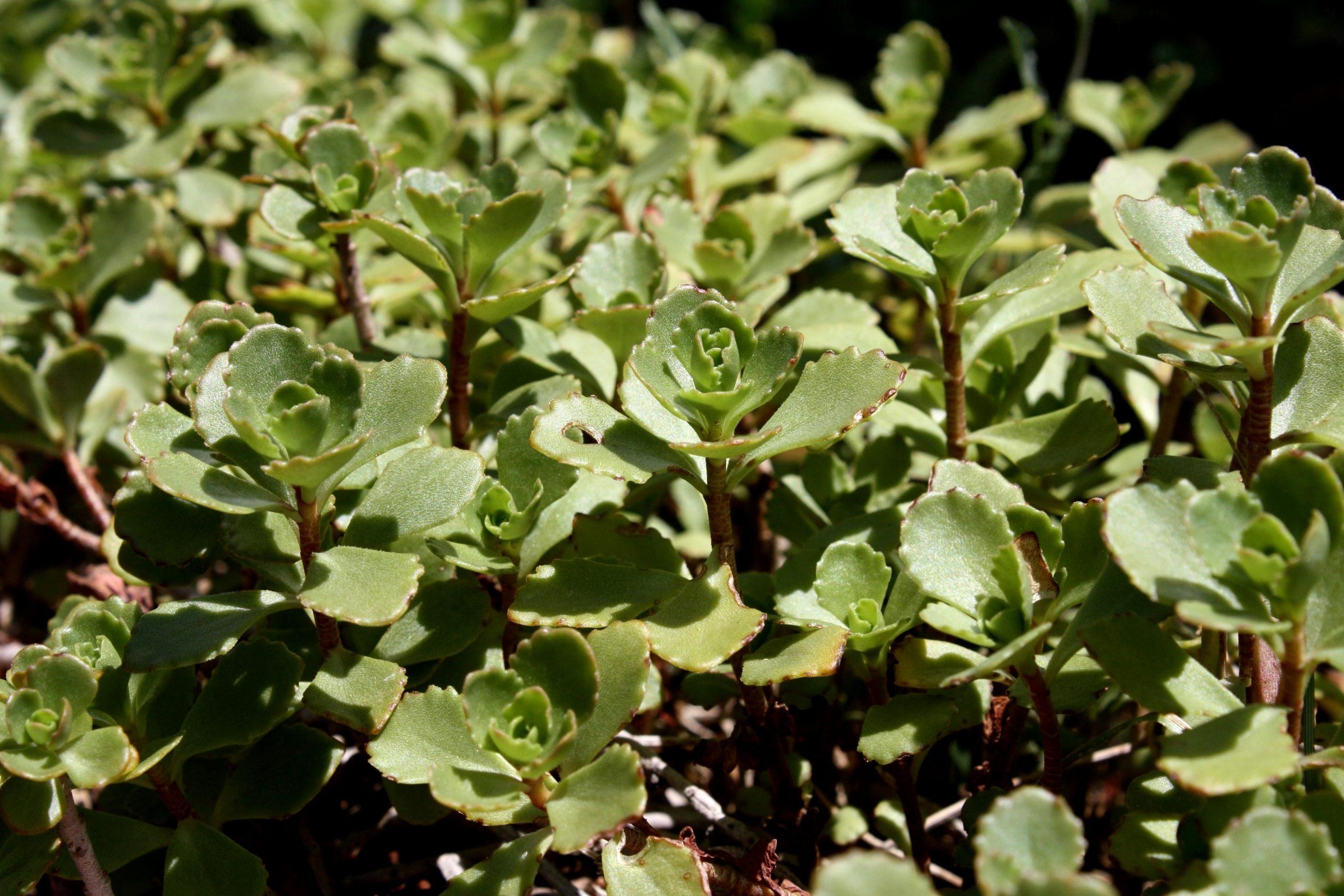 El Sedum spurium es una suculenta de rápido crecimiento
