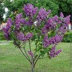 Vista de un árbol de Syringa vulgaris