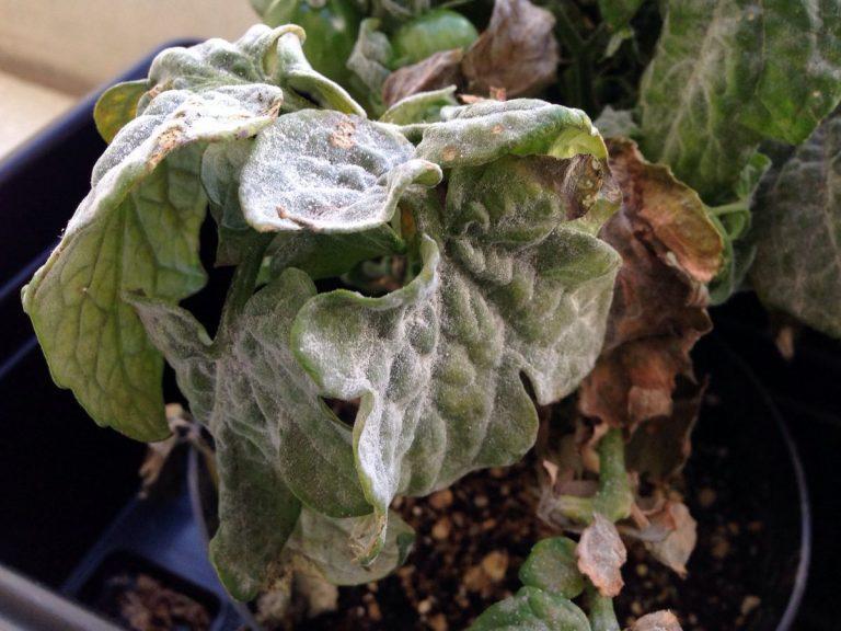 El oidio afecta al tomate