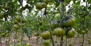 El tomate Raf es una de aquellas variedades que recibe un gran valor debido al sabor que posee al igual que por su olor tan característico