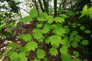 Hojas del Acer circinatum