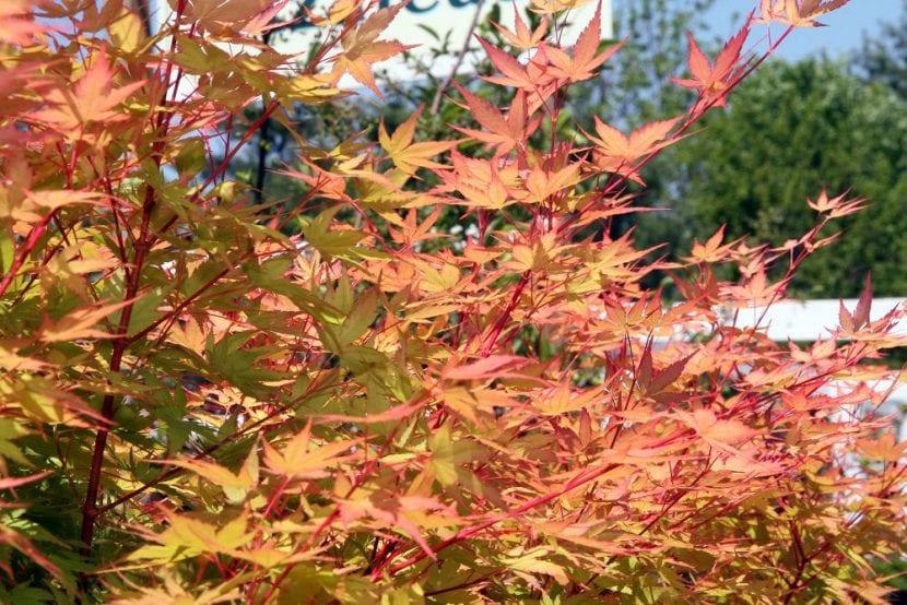 Acer palmatum 'Sango kaku' en otono