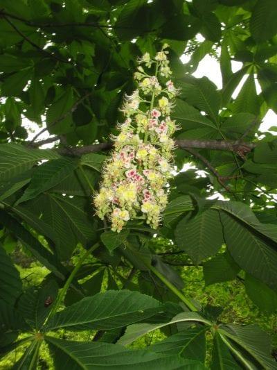 Flor del falso castaño japonés