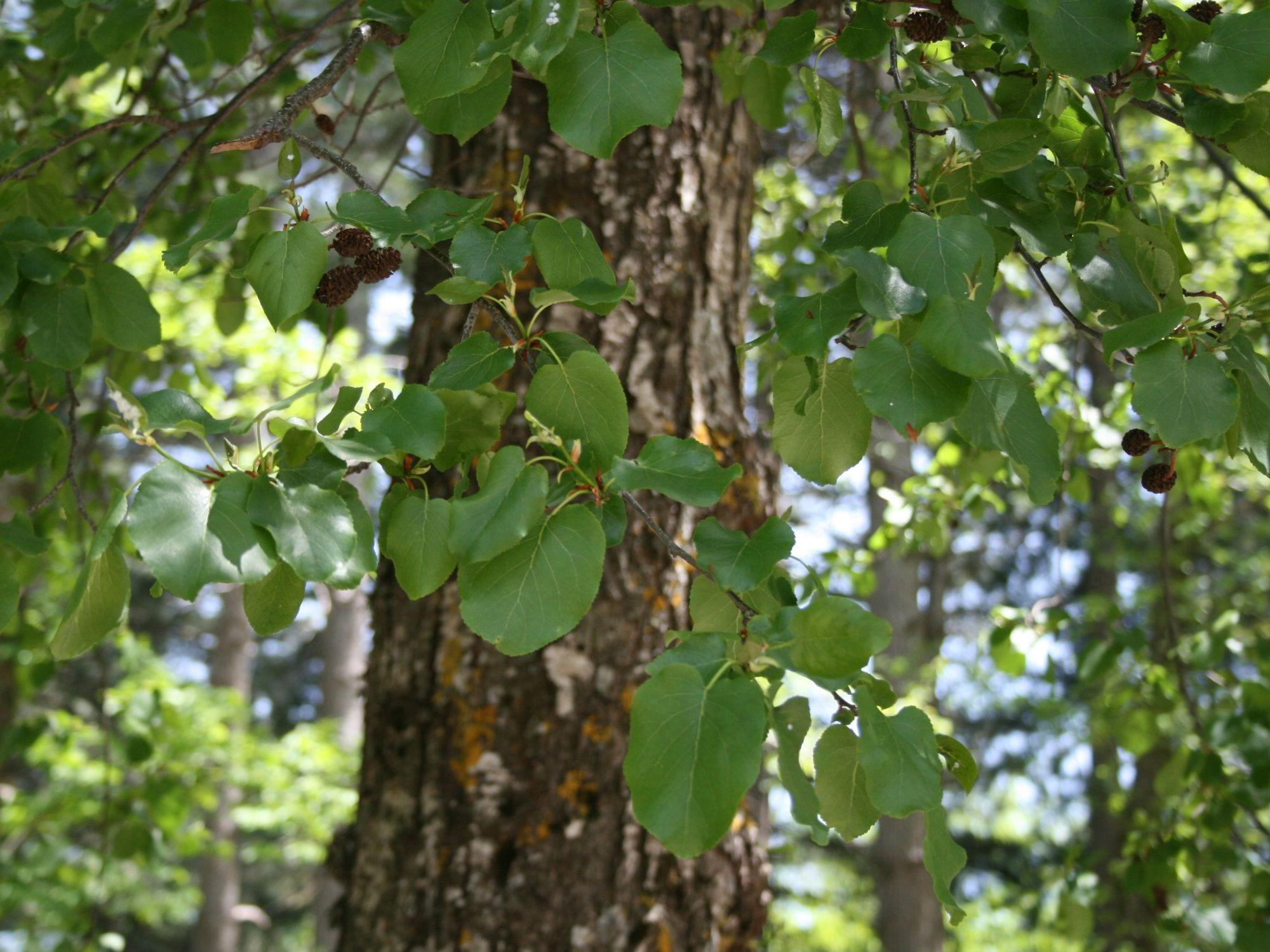 Tronco y hojas del Alnus cordata