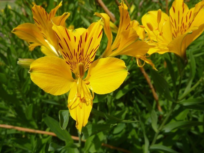 Las flores de la Alstroemeria aurea 'Peruvian Lily' son amarillas