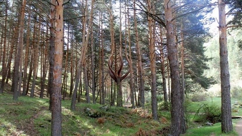 Bosque pino silvestre