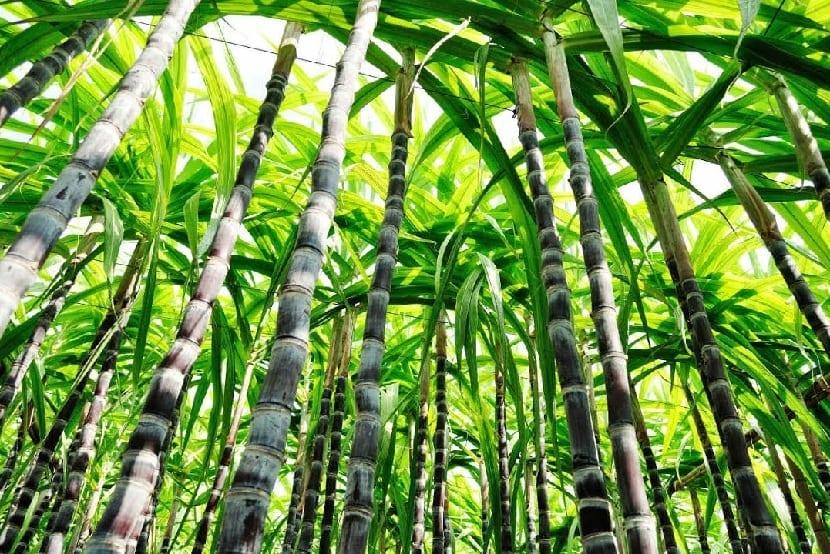 Caña de azúcar Saccharum officinarum