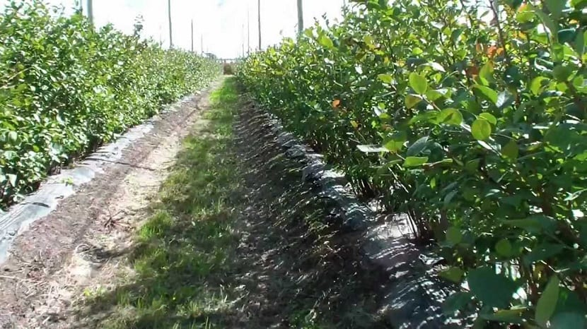 Calle de agricultura de conservación para el arándano