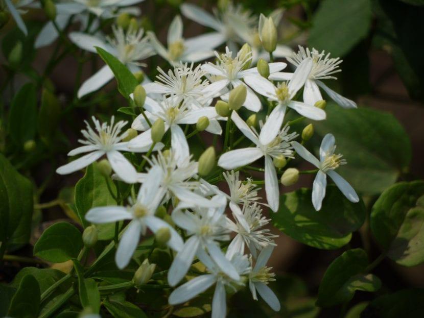 Flores de Clematis flammula