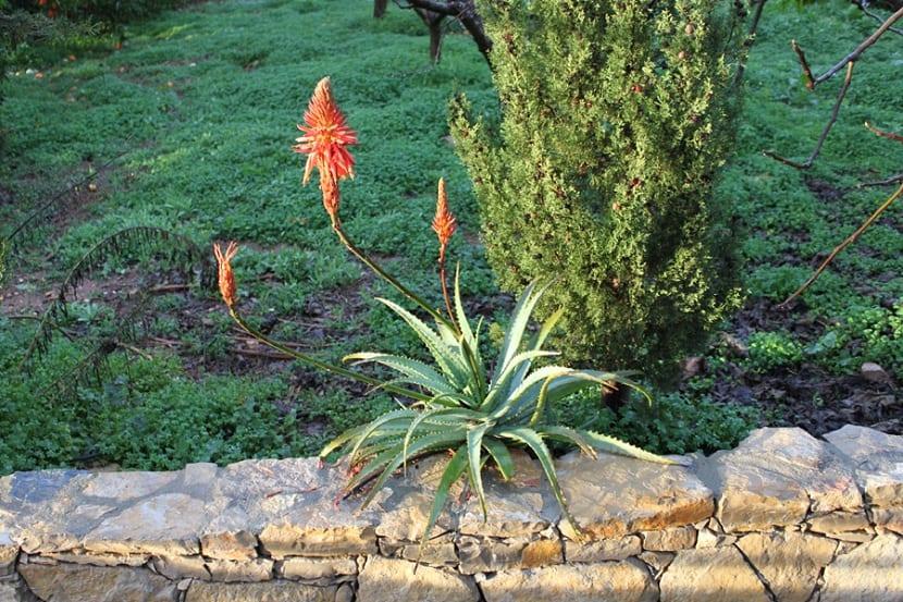 Cultivo de Aloe arborescens