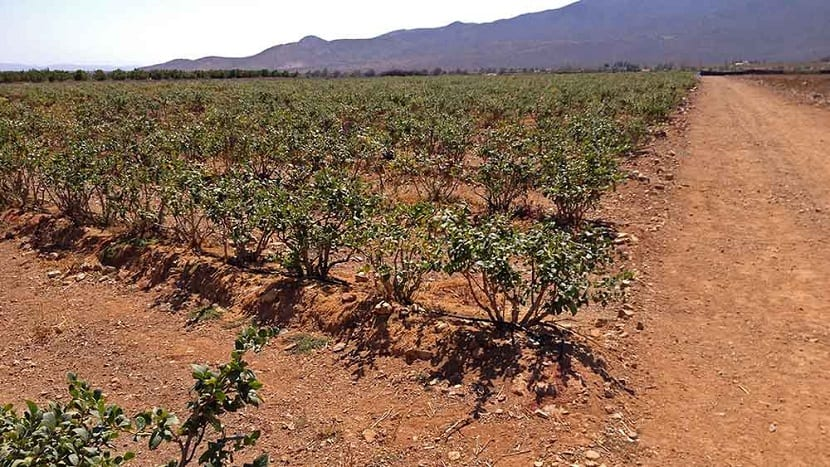 Cultivo de los arándanos en el campo