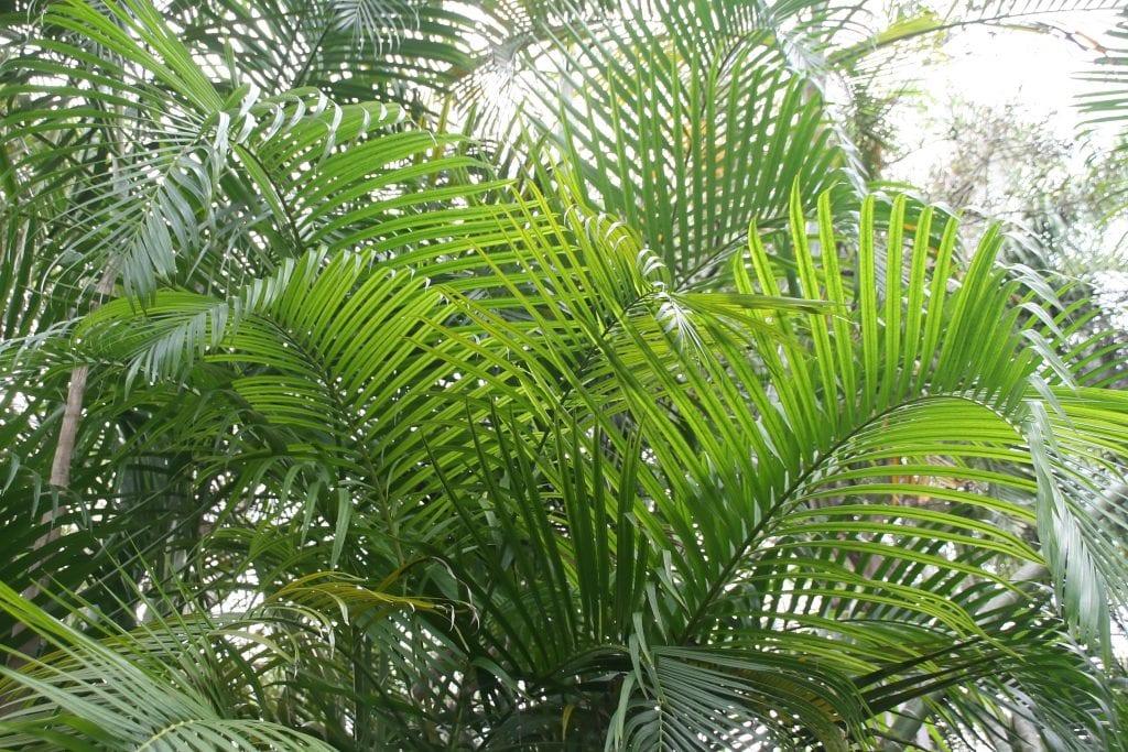 Las hojas de la Dypsis lutescens son pinnadas y largas