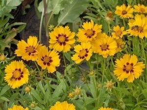 es una flor silvestre de la familia de la Asteraceae