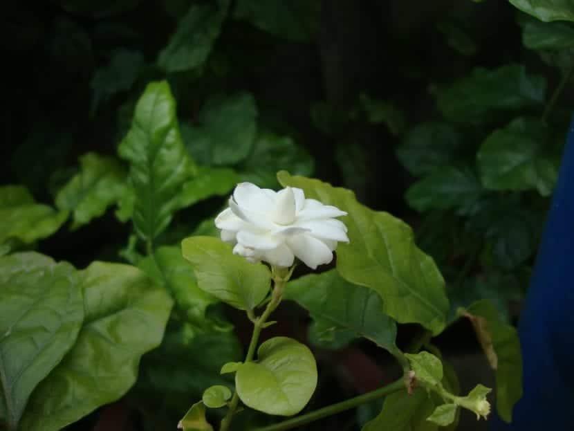 Planta de Jasminum sambac