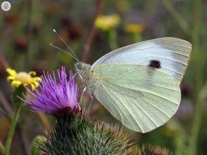 La mariposa de la col que tiene como nombre científico Pieris brassicae