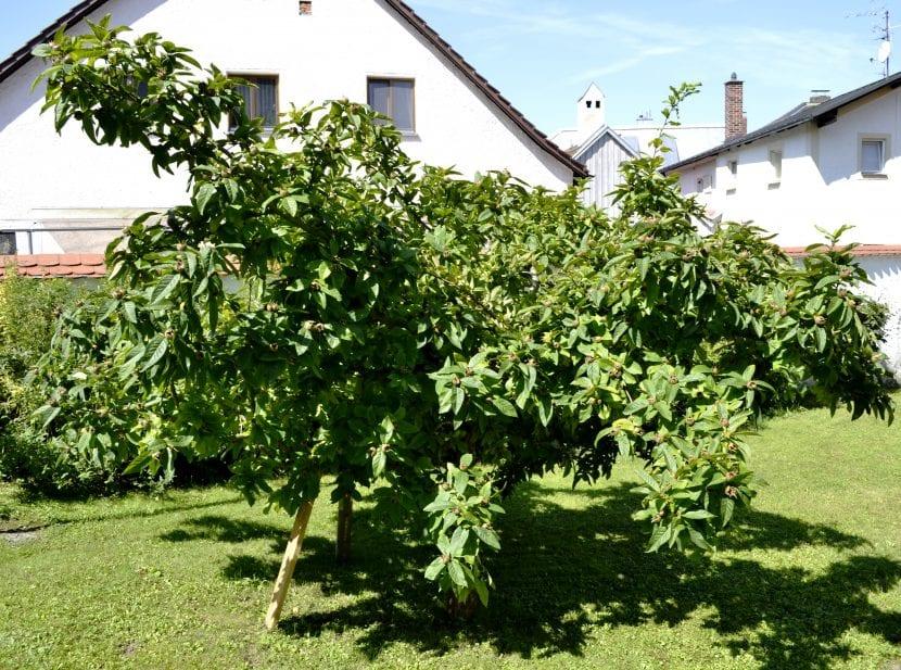 Árbol de Mespilus germanica