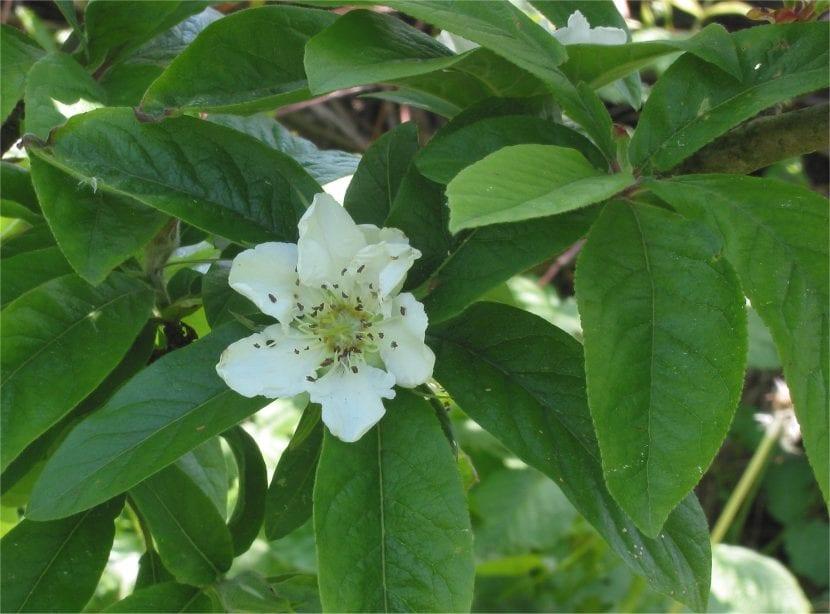 Flor del Mespilus germanica