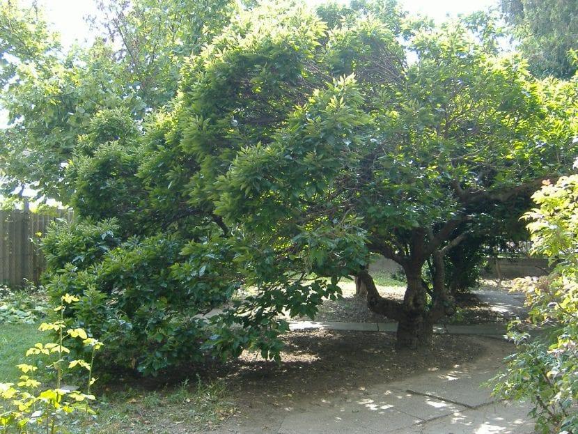 Vista del árbol de morera blanca