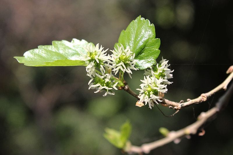 Flores de Morera blanca