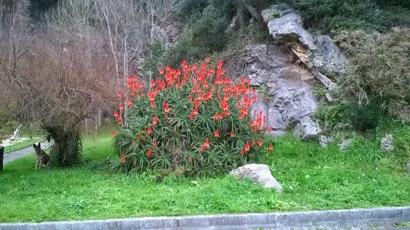 Paisaje con Aloe arborescens