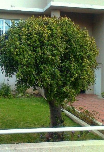 La Portulacaria afra es un arbusto o arbolito fácil de cuidar