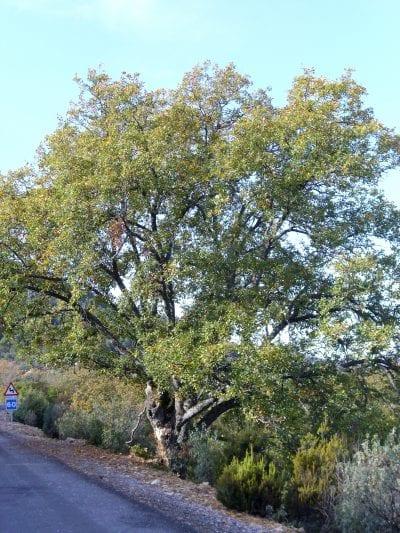 Árbol de Quercus faginea