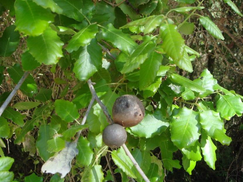 Hojas de Quercus faginea