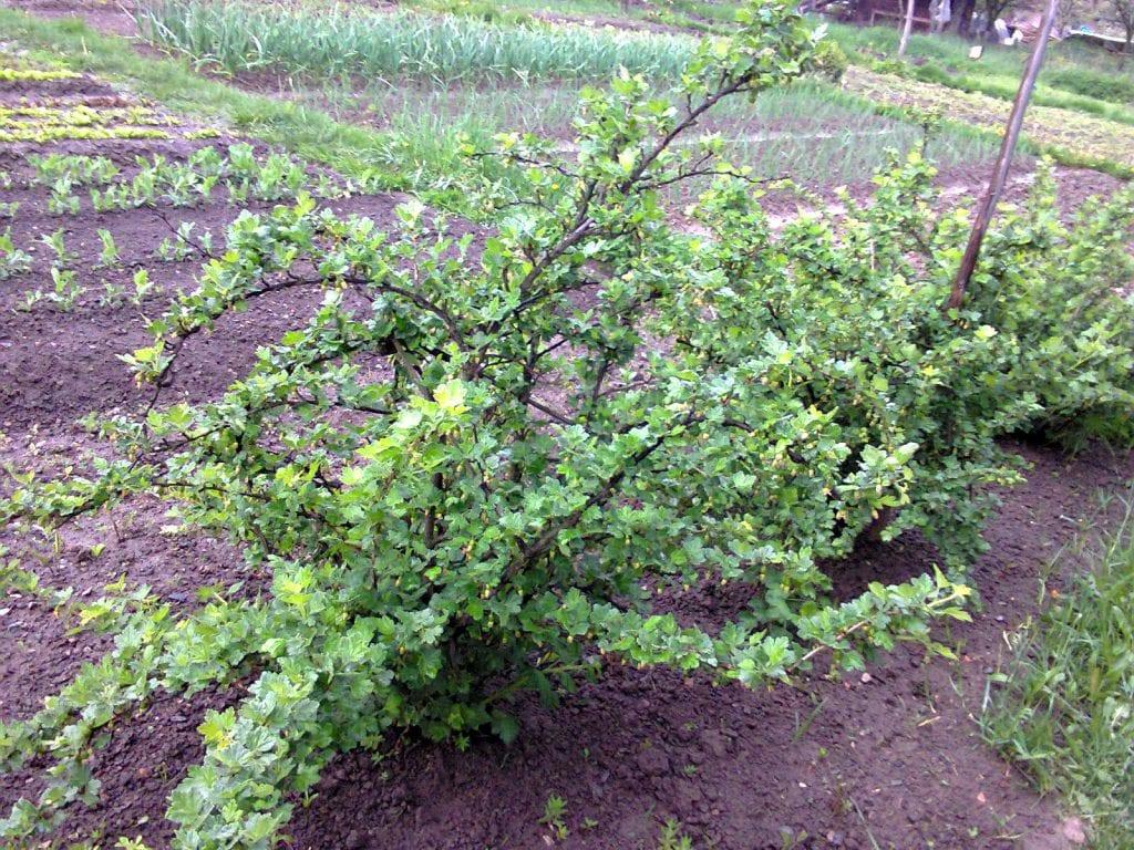 Planta de uva espina