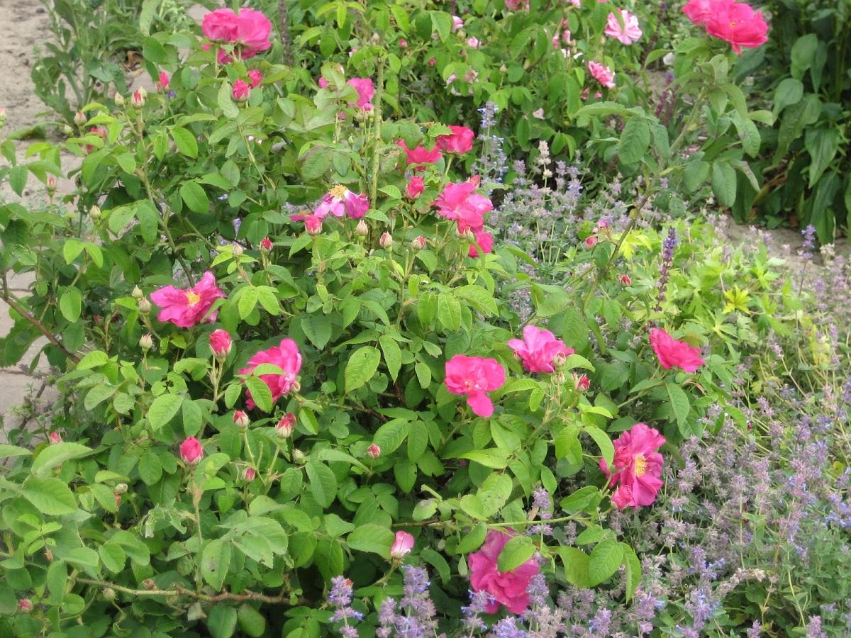 La Rosa de Castilla se puede cultivar en jardines