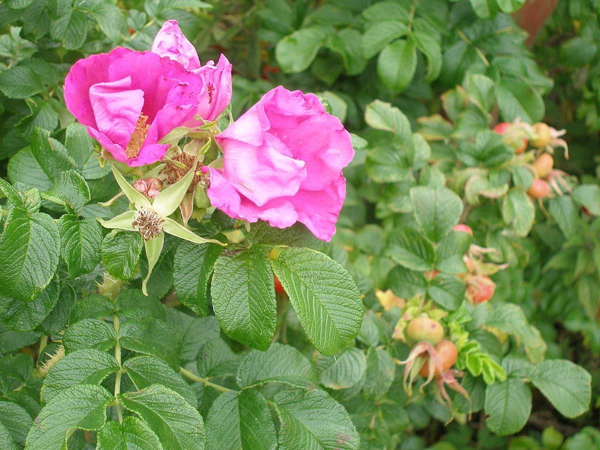 La rosa de Castilla es una planta de flor