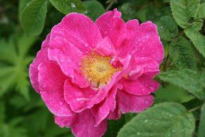 La Rosa gallica florece en primavera